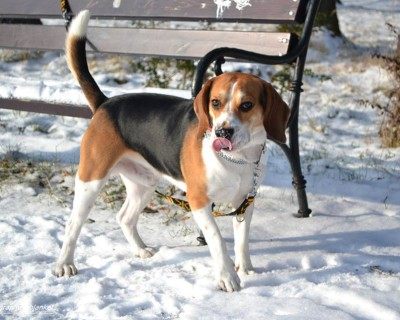 My Beagle… :)